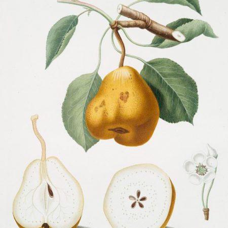 Pera Spina Botanical Prints