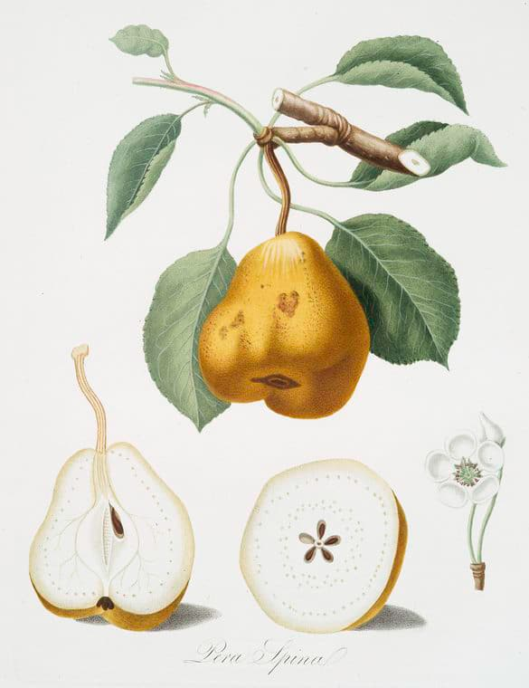 Pera Spina Botanical Prints