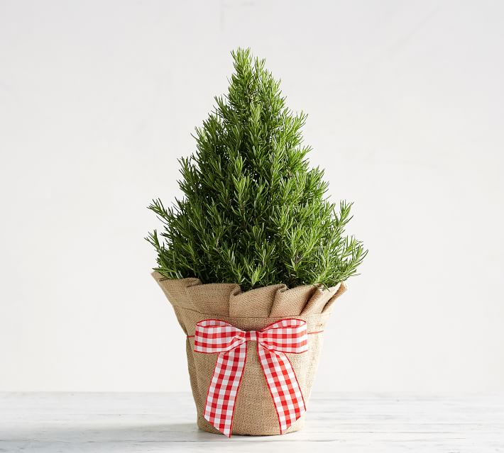 Hostess Gift Ideas - Live Rosemary Plant