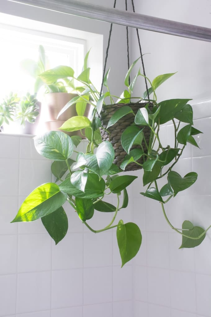 Devil's Ivy hanging in the shower.