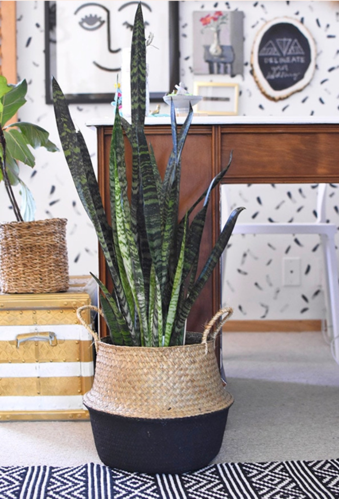 Snake plant in a basket planter.